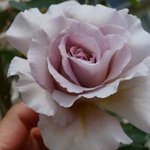 ニューウェーブとガブリエル瀕死の溺愛バラ2種☆現在の全体像1分咲き?藤が綺麗。