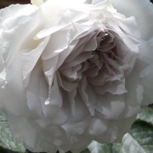 天使の薔薇ガブリエル。今年からは友情の薔薇ガブリエル♪