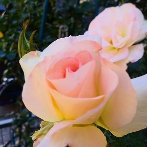 ヒラヒラの乙女薔薇♪マチルダと今週咲いた薔薇♪&オキザリス・トリアングラリス