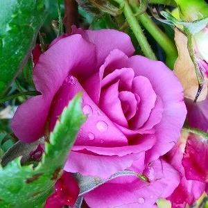 F&Gローズ・ あおい♪ヒョロヒョロだけどギッシリ咲きました&花の名前がわからない・・・