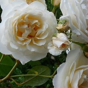 最強の白薔薇・ファビュラス!今日は「保護猫の日」!