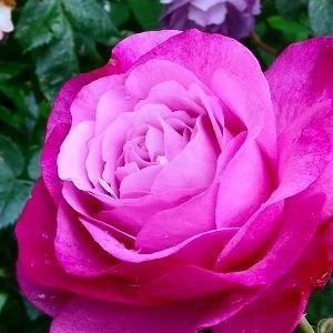 今年は少な目・ミュリエルロバン☆でも夏に強い薔薇なので2番花以降に期待&自粛解除なのにセルフカラー