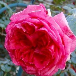 ローズポンパドゥール☆そろそろ害虫の季節(´Д`)&華麗な八重咲ペチュニア