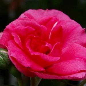 ピンクラセビリアーナ☆修景薔薇は売り切れるのが早い!&もう段ボールは限界かも(^^;