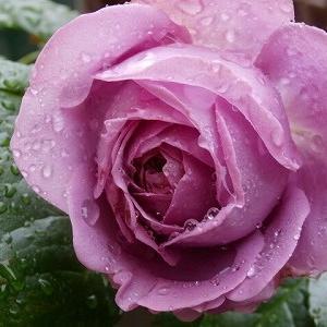 ルーシェの薔薇♪カインダブルー☆咲き始めた2番花&仔猫動画と頂き物