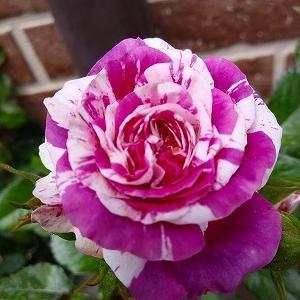 センティッドジュエル、パーティラナンキュラ☆挿し木し直しの薔薇達&お迎えした夏の花&仔猫のお引越し