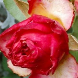切り花品種ブラッドピンク&初めてのZOOMと東京アラート&仔猫動画