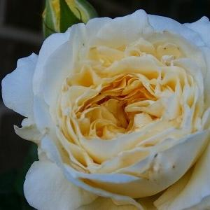 純白の貴婦人・DAペイシャンス&ツル植物の手入れ&アベノマスク、やっと届いた!
