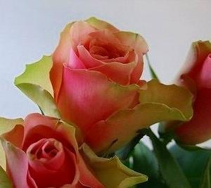 一番花は残念なペルローズ☆一番花の名残り?ポツポツ咲いた薔薇達