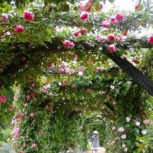 失われた2か月を取り戻す!軽井沢レークガーデンの薔薇!!