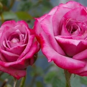 ブルーオベーション2番花と薔薇のような花々♪&5年ぶりのTNRです。里親募集中!
