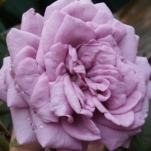 カインダブルーとポツポツ咲きの薔薇&素敵な農園カフェ♪プレールカフェに行って来ました。