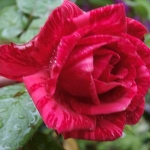 雨の中の赤い薔薇♪毎年恒例!今年も「猫ねこ展覧会2020」行って参りました!