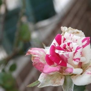 猛暑で始まった8月!頑張る切り花品種・フラッシュダンス&怪しいキノコ