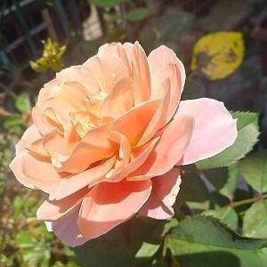 あまりの暑さに咲かせちゃった夏薔薇&大切なものが1つ1つ失われていく・・・