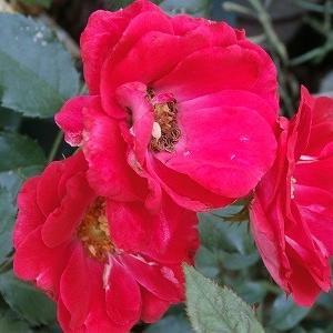 母の命日と母の形見の薔薇&ライブ配信視聴と今度はアイスクリーム♪
