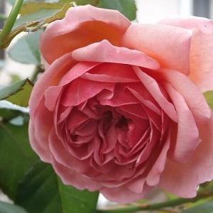 こっくり秋薔薇♪そろそろ冬の草花を!&インフルエンザ予防接種