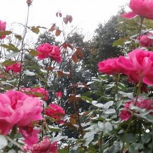 京成バラ園の秋薔薇;冬作業に向けての資材調達&先週のあれこれ