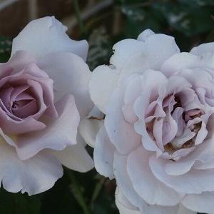 ニューウェーブと咲いている秋薔薇たち♪11月半ばなのに虫は元気で困ります。