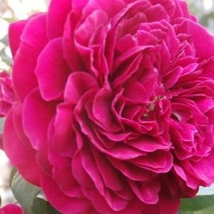 12月は赤い薔薇♪ってイメージ+頂き物とハマりもの