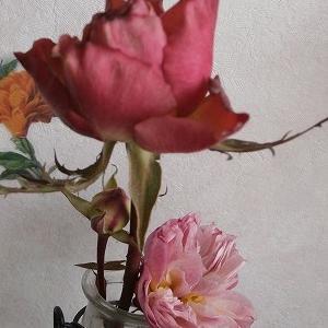 結局、休眠しないつもりなのかしら??まだ薔薇が咲いているのです。