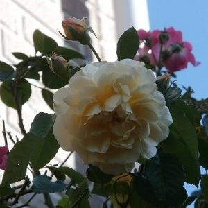 冬休みも終わり・・・それでも咲いている薔薇♪