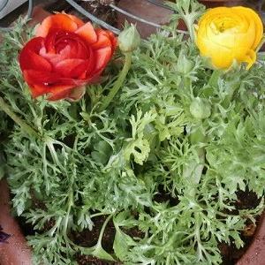 薔薇が恋しくて…ラナンキュラス☆お迎えした花々&早くもバレンタイン?