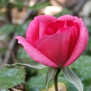 もう薔薇が咲き出した!良い事も悪い事も続く時は続く?ビオラ花盛り!