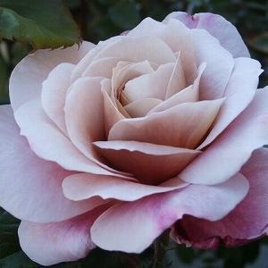 いよいよ!薔薇シーズン!どんどん咲いて来ました!品種不明薔薇の名前