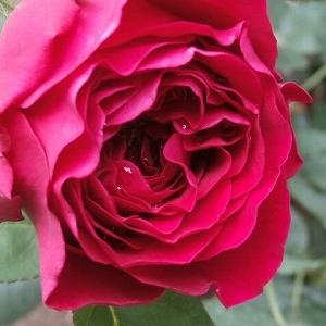 満開のDAダルシーと咲き始めたクレマチス&他の薔薇薔薇♪今の全体像