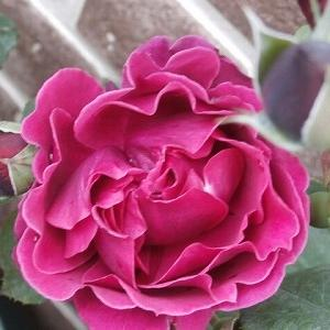 我が友HEESEYにピッタリの薔薇・オデュッセイア &非常に体調が悪いです