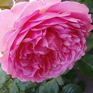 遅咲き薔薇の本領発揮?ローズポンパドゥール&仔猫、緊急入院になりました