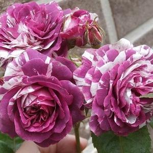 センティッドジュエル&今の季節を彩る花々+仔猫、無時に戻って来ました!