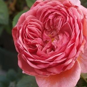 ラローズドゥモリナール一番花と2番花がゴッチャ(笑)仔猫また病院で医療費がぁ〜!