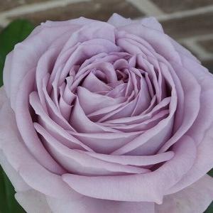 お寝坊さんのノヴァーリス☆今年も薔薇ジャム作りました〜♩