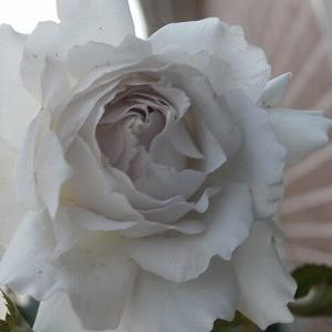 おもてなしの薔薇たち☆前週末からの色々♩今週末は不在です