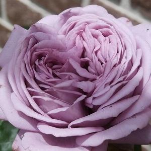 大雨被害・チラホラ咲いてる2番花&今日はダーリンの誕生日♪