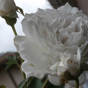 大雨続きは薔薇より草花に癒される♪+体調不良です