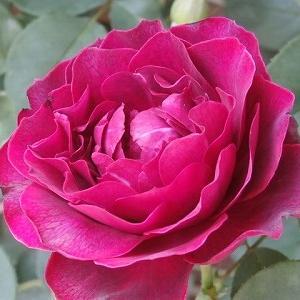 オデュセイアの2番花が見事です&京成バラ園のフォトコンテストに家のバフビューティが入賞♪