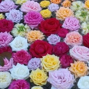 京成バラ園のナイトイベントで夏薔薇を堪能♪