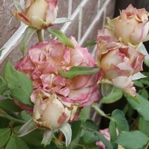 テナチュール☆切り花品種から園芸種へ!&9月は残酷な月だけど前向きに♪