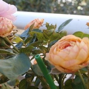 台風直撃!その前に摘んだ薔薇と色々ガタガタです(汗)