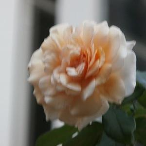 返り咲きの蔓薔薇達♬&父親の誕生日に思い出旅行をプレゼント