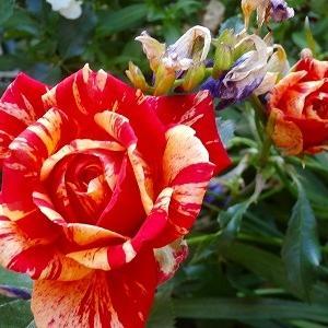 切り花品種パパガヨ♪咲き始めた花々、紫陽花の季節になって来ました&ティム一周忌