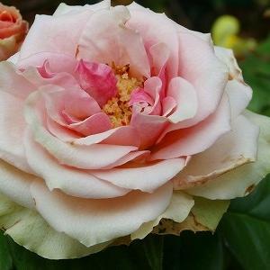 夏に元気なのは切り花品種ベルローズ♪&亡き母の13回忌