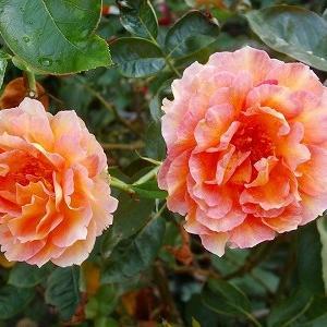 ラパリジェンヌ、お嫁に&薔薇里親募集に伴うカテゴリー表記変更&今日は、もう1つの結婚記念日