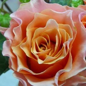 切り花品種ブラッドオレンジ+&またまた救急のお世話に(´Д`)ハァ…