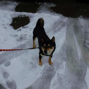 フキノトウが雪解けから顔を出しました