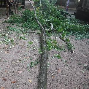 折れたイチョウの大枝の片付け作業