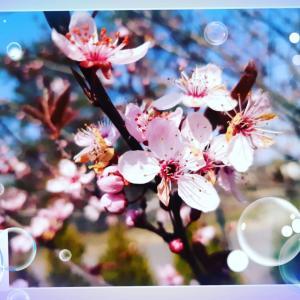 ポーランドの桜の開花